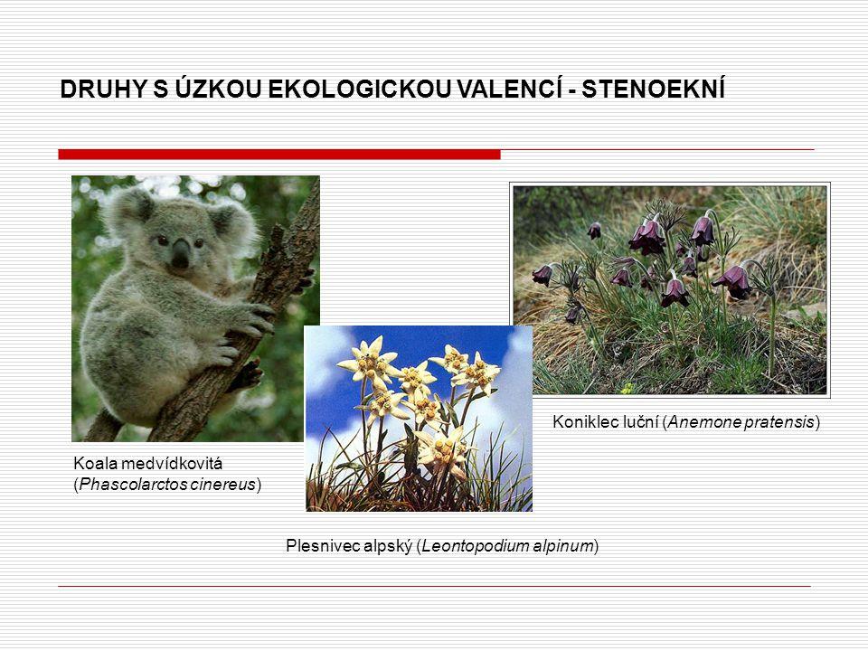 DRUHY S ÚZKOU EKOLOGICKOU VALENCÍ - STENOEKNÍ Koala medvídkovitá (Phascolarctos cinereus) Koniklec luční (Anemone pratensis) Plesnivec alpský (Leontopodium alpinum)