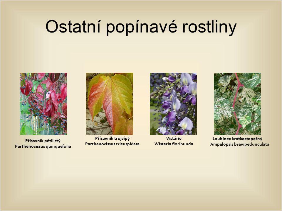 Ostatní popínavé rostliny Přísavník pětilistý Parthenocissus quinquefolia Přísavník trojcípý Parthenocissus tricuspidata Vistárie Wisteria floribunda