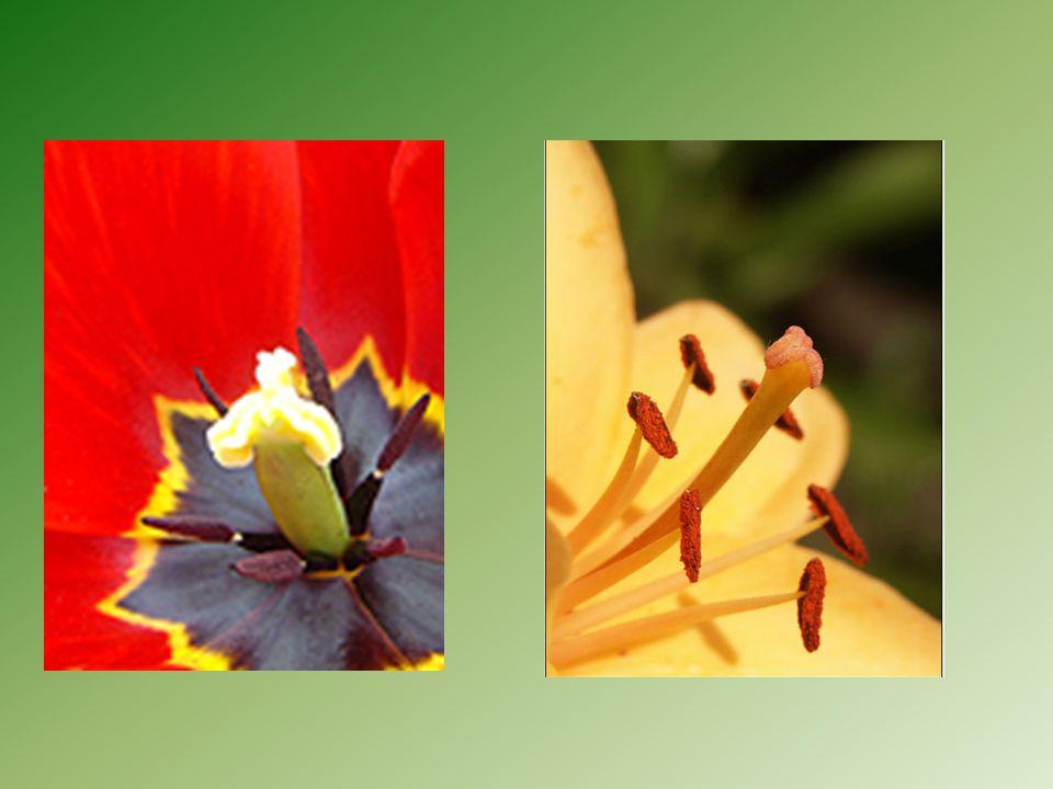 Pestík – samičí pohlavní orgán Stavba : semeník – v něm jedno nebo více vajíček Čnělka Blizna – zachycení pylových zrn blizna čnělka