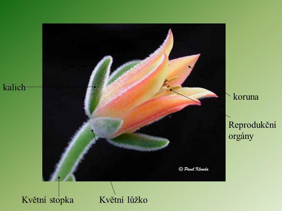 KVĚT Vznik přeměnou části stonku a listů K pohlavnímu rozmnožování Květy mohou být samostatné nebo sdružené v květenství Stavba květu: 1) květní stopk
