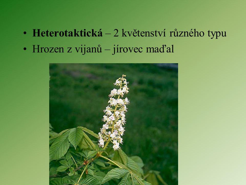 Složená květenství Homotaktická – 2 květenství stejného typu Složený okolík – miříkovité Lata z hroznů – vinná réva