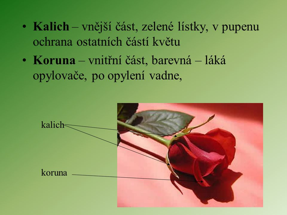 Kalich – vnější část, zelené lístky, v pupenu ochrana ostatních částí květu Koruna – vnitřní část, barevná – láká opylovače, po opylení vadne, kalich koruna