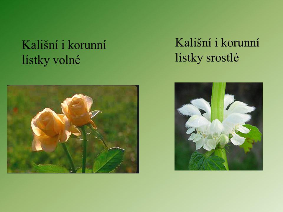 Kalich – vnější část, zelené lístky, v pupenu ochrana ostatních částí květu Koruna – vnitřní část, barevná – láká opylovače, po opylení vadne, kalich