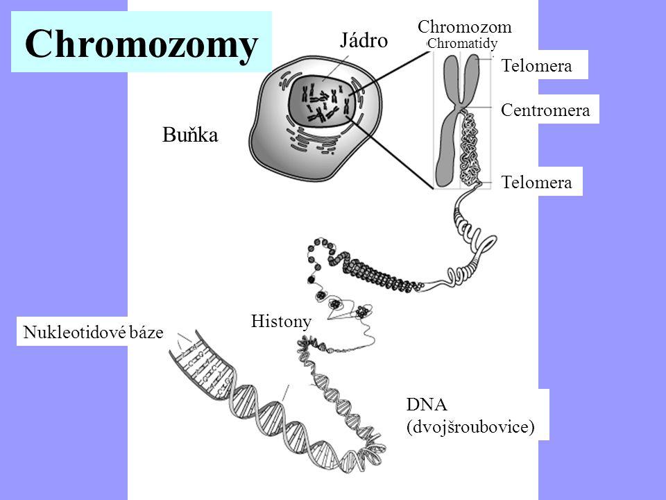 Chromosome Buňka Jádro Jaderné Chromozom Chromatidy Telomera Centromera Nukleotidové báze Histony DNA (dvojšroubovice) Nukl Chromozomy