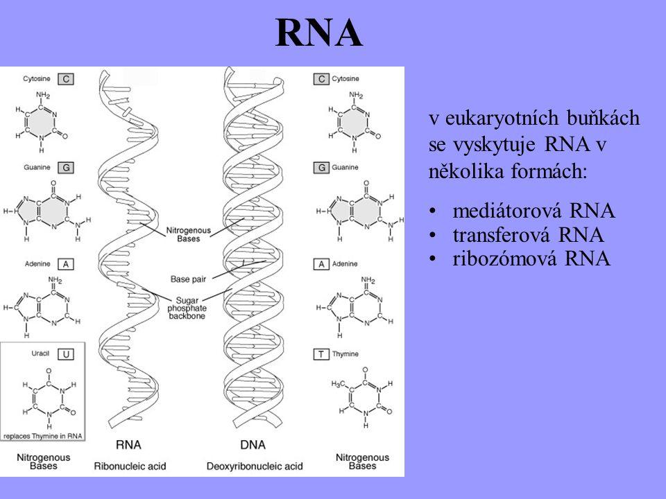 v eukaryotních buňkách se vyskytuje RNA v několika formách: mediátorová RNA transferová RNA ribozómová RNA RNA