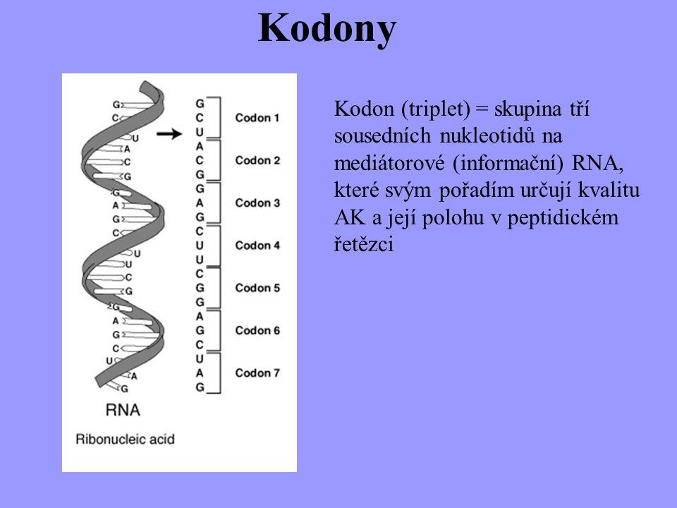 Kodony Kodon (triplet) = skupina tří sousedních nukleotidů na mediátorové (informační) RNA, které svým pořadím určují kvalitu AK a její polohu v pepti