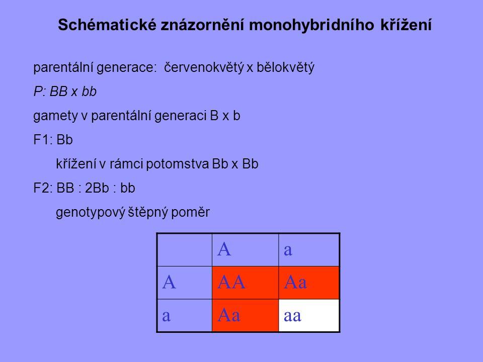 Schématické znázornění monohybridního křížení parentální generace: červenokvětý x bělokvětý P: BB x bb gamety v parentální generaci B x b F1: Bb kříže