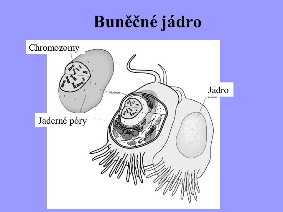 Buněčné jádro Chromozomy Jaderné póry Jádro