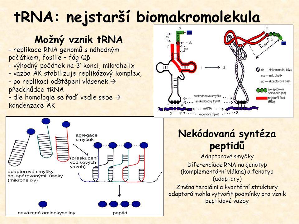 tRNA: nejstarší biomakromolekula Možný vznik tRNA - replikace RNA genomů s náhodným počátkem, fosilie – fág Qβ - výhodný počátek na 3' konci, mikrohelix - vazba AK stabilizuje replikázový komplex, - po replikaci odštěpení vlásenek  předchůdce tRNA - dle homologie se řadí vedle sebe  kondenzace AK Nekódovaná syntéza peptidů Adaptorové smyčky Diferenciace RNA na genotyp (komplementární vlákna) a fenotyp (adaptory) Změna terciální a kvartérní struktury adaptorů mohla vytvořit podmínky pro vznik peptidové vazby