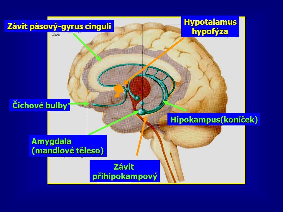 Závit pásový-gyrus cinguli Hypotalamushypofýza Čichové bulby Hipokampus(koníček) Závitpřihipokampový Amygdala (mandlové těleso)