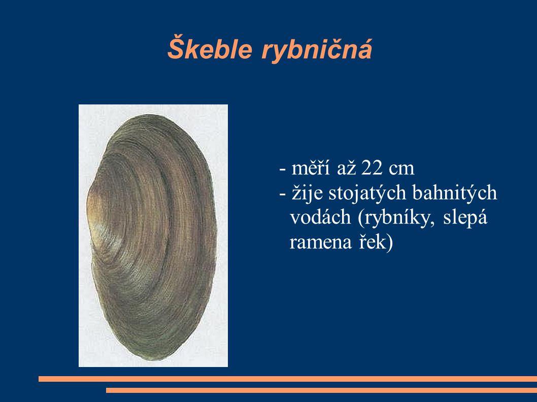 Škeble rybničná - měří až 22 cm - žije stojatých bahnitých vodách (rybníky, slepá ramena řek)