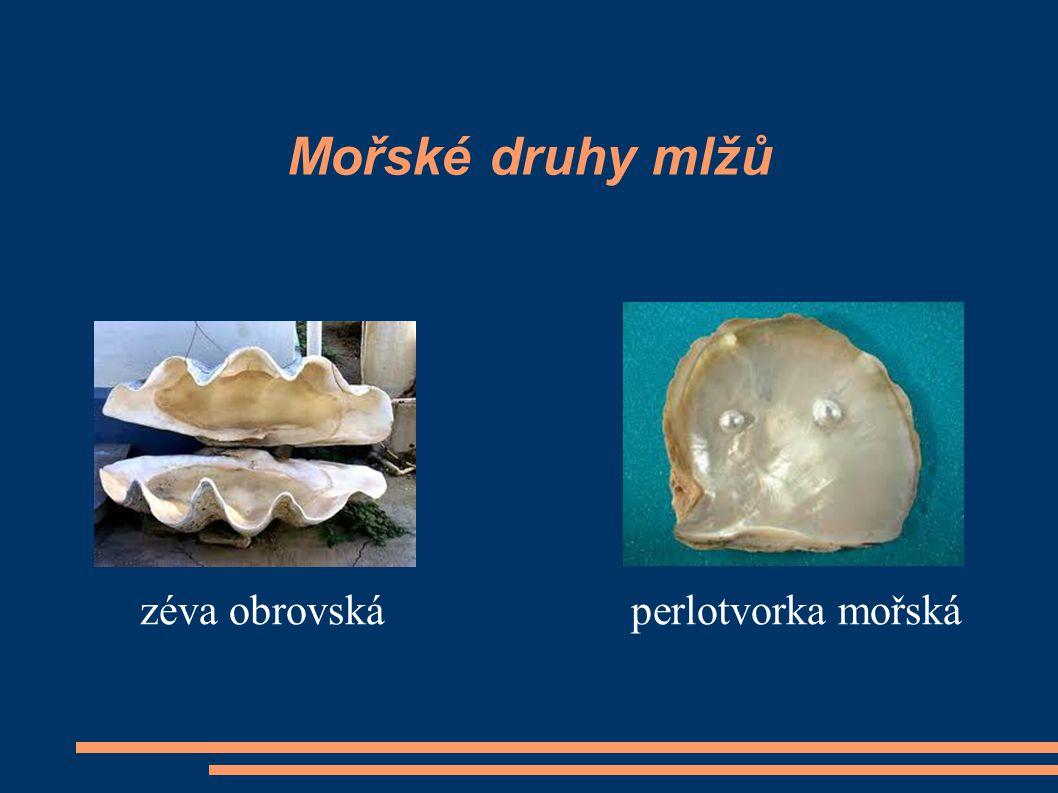 Mořské druhy mlžů zéva obrovská perlotvorka mořská