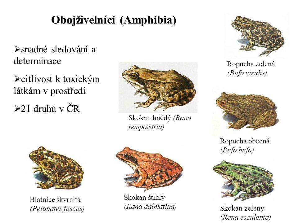 Obojživelníci (Amphibia) Skokan hnědý (Rana temporaria) Skokan štíhlý (Rana dalmatina) Skokan zelený (Rana esculenta) Blatnice skvrnitá (Pelobates fus