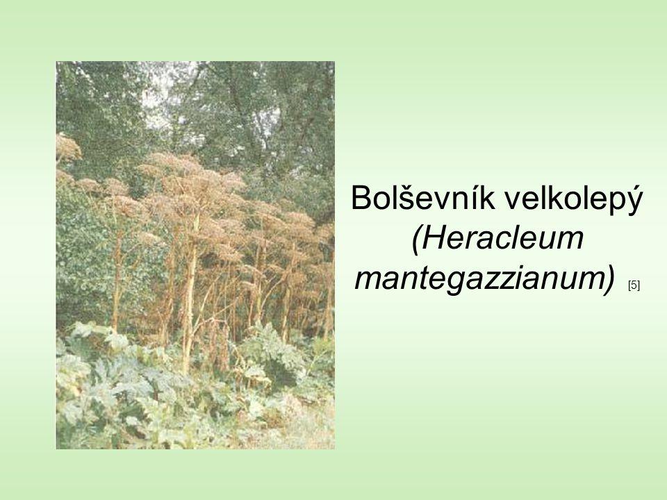 Bolševník velkolepý (Heracleum mantegazzianum) [5]