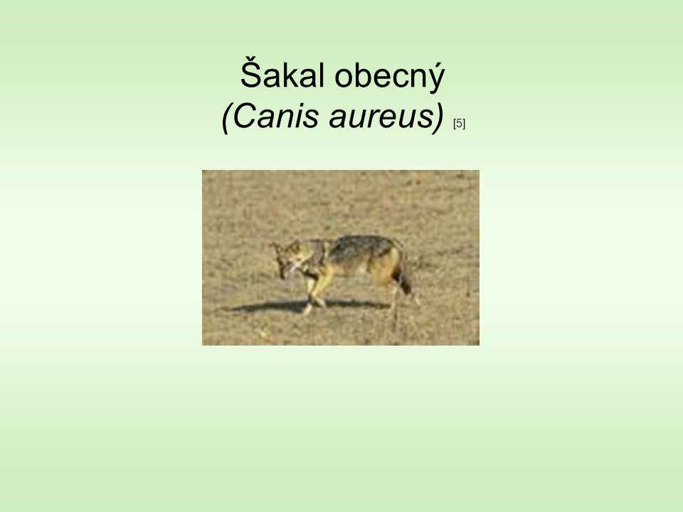 Šakal obecný (Canis aureus) [5]