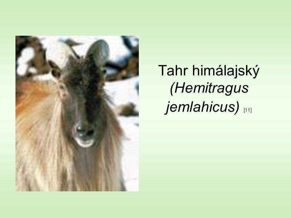 Tahr himálajský (Hemitragus jemlahicus) [11]