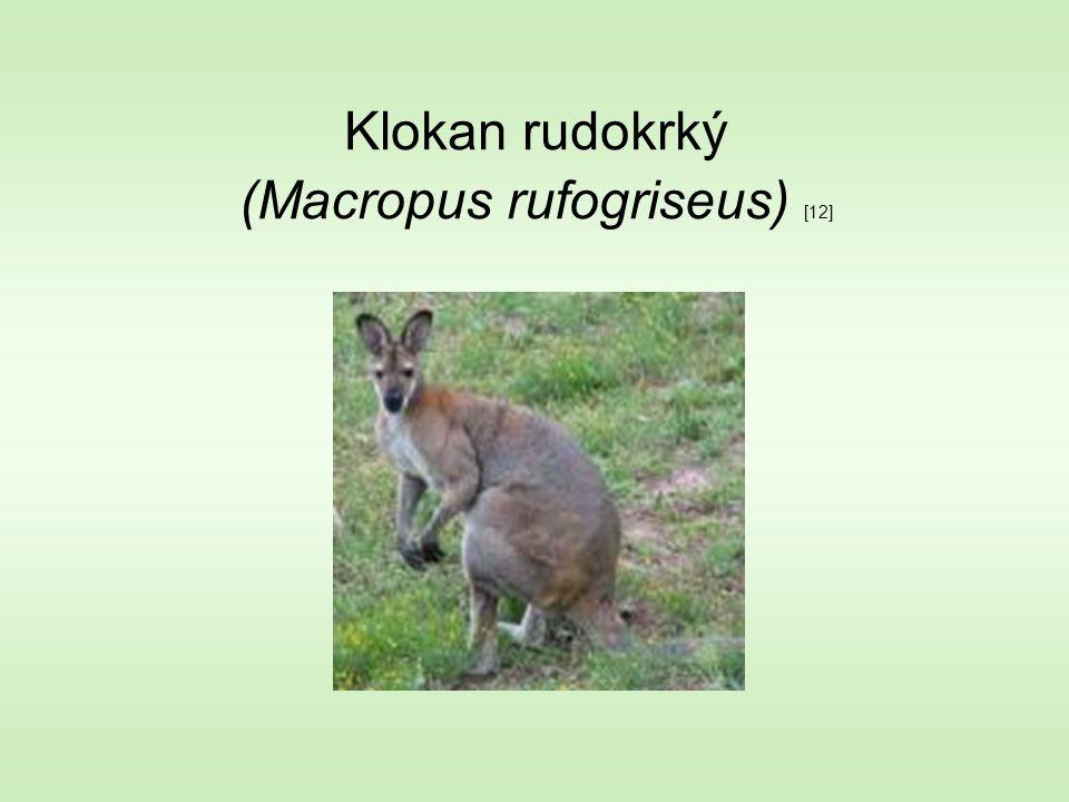 Klokan rudokrký (Macropus rufogriseus) [12]