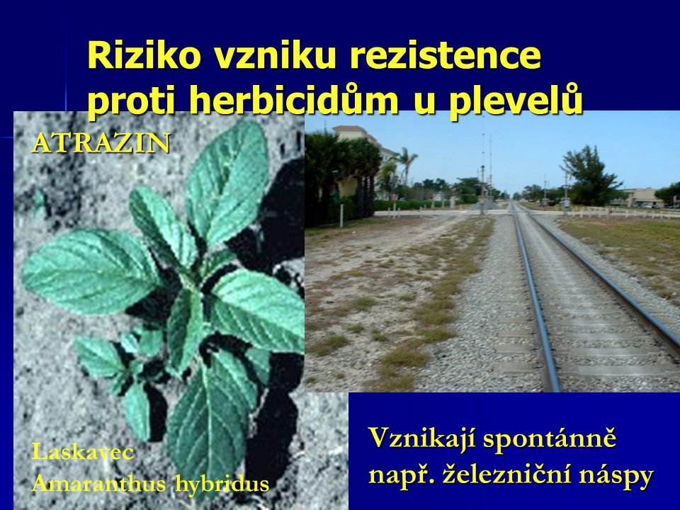 Laskavec Amaranthus hybridus Vznikají spontánně např. železniční náspy ATRAZIN Riziko vzniku rezistence proti herbicidům u plevelů
