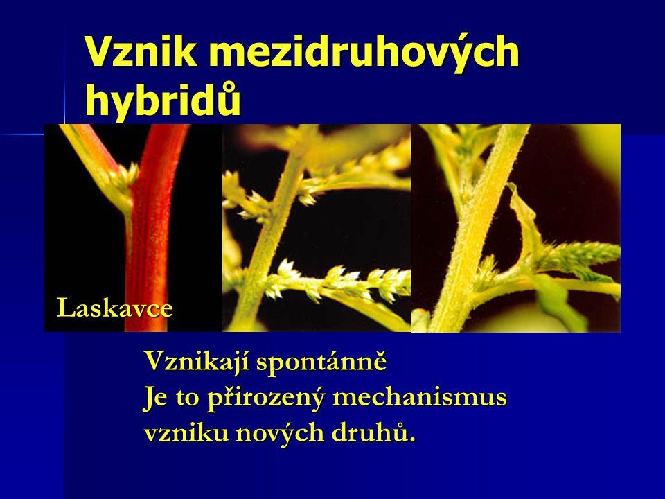 Vznik mezidruhových hybridů Laskavce Vznikají spontánně Je to přirozený mechanismus vzniku nových druhů.