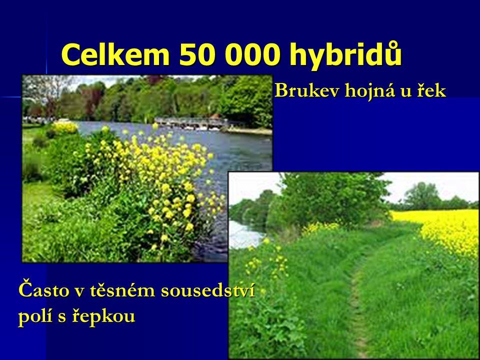 Celkem 50 000 hybridů Brukev hojná u řek Často v těsném sousedství polí s řepkou