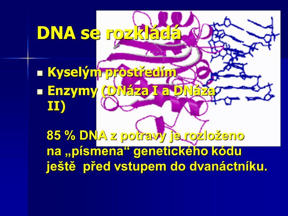 """DNA se rozkládá Kyselým prostředím Kyselým prostředím Enzymy (DNáza I a DNáza II) Enzymy (DNáza I a DNáza II) 85 % DNA z potravy je rozloženo na """"písm"""
