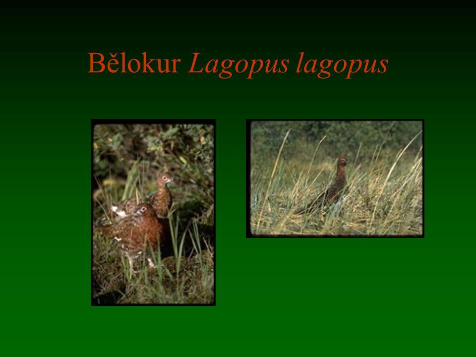 Bělokur Lagopus lagopus