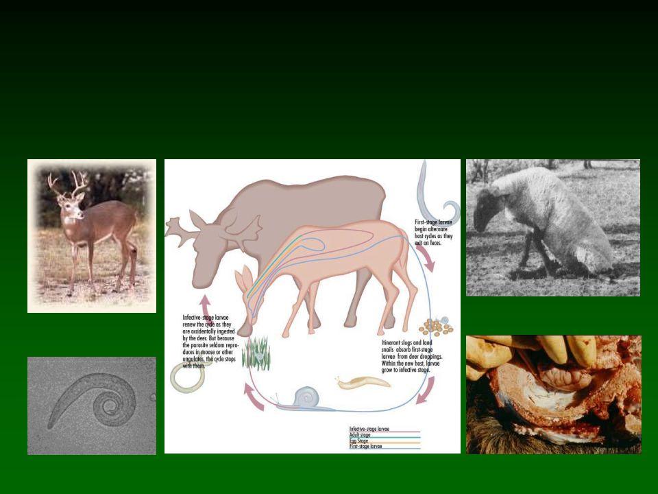 Úloha parazitů v biogeografii Vliv na areál rozšíření –Kopytníci v Africe a epidemie rinderpest –Dobytek v Africe a Trypanosomy –Krysa a potkan v Evropě –Jelenovití v Americe a helmint Parelaphostrongylus tenuis – přirozenému hostiteli jelenci běloocasému neškodí Ekologická plasticita většiny druhů a zároveň omezenost jejich areálů rozšíření