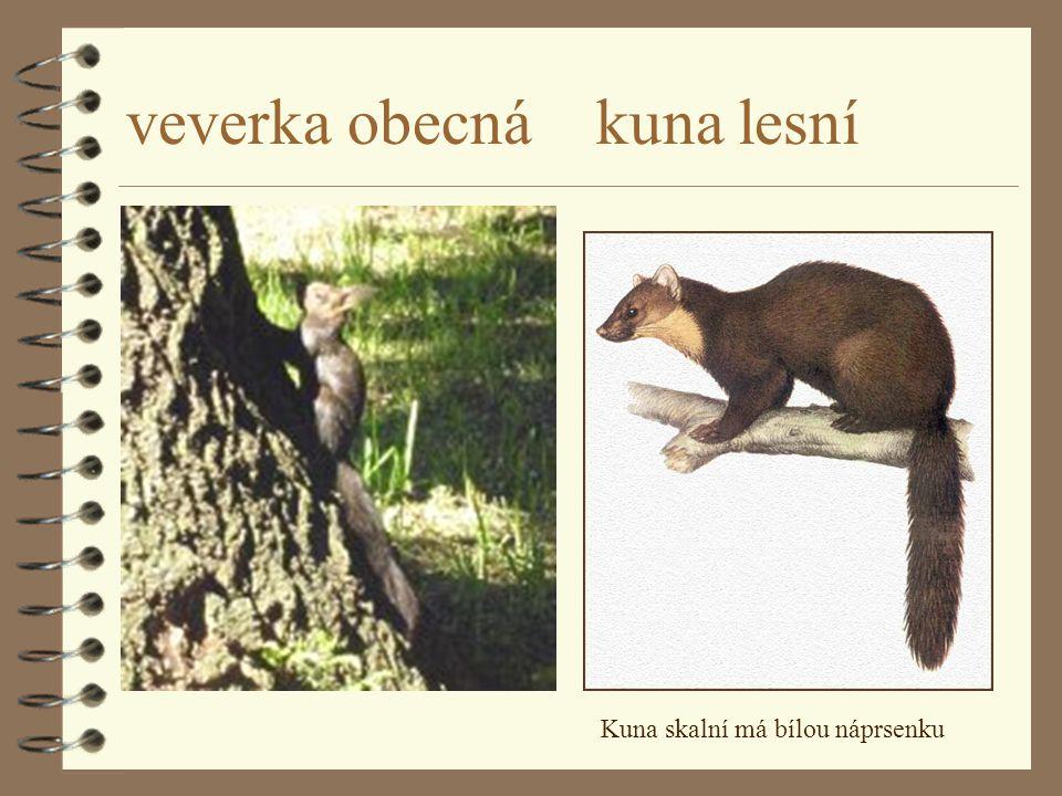 veverka obecná kuna lesní Kuna skalní má bílou náprsenku