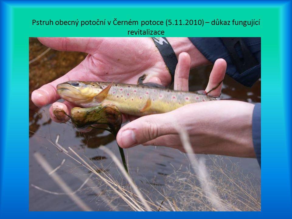 Pstruh obecný potoční v Černém potoce (5.11.2010) – důkaz fungující revitalizace