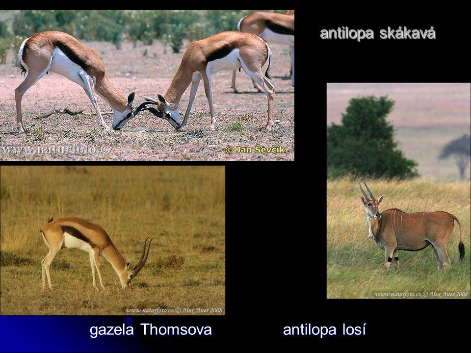 antilopa skákavá antilopa skákavá gazela Thomsova antilopa losí gazela Thomsova antilopa losí