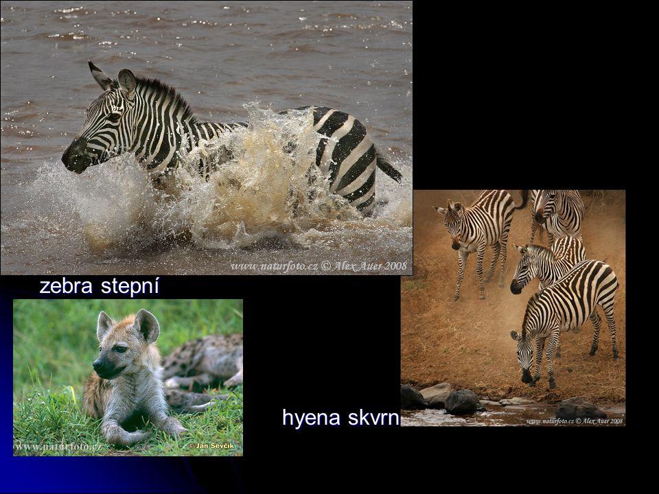 zebra stepní hyena skvrnitá hyena skvrnitá