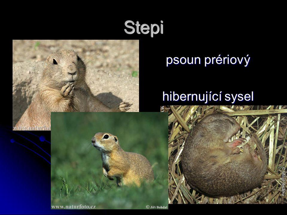 Stepi psoun prériový psoun prériový hibernující sysel obecný hibernující sysel obecný