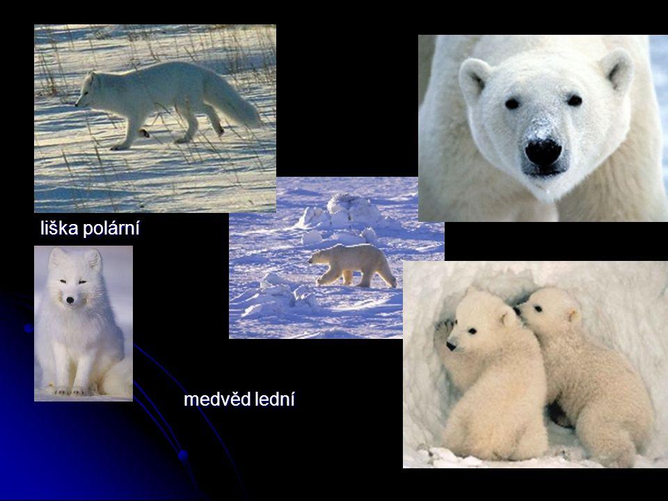 liška polární medvěd lední medvěd lední
