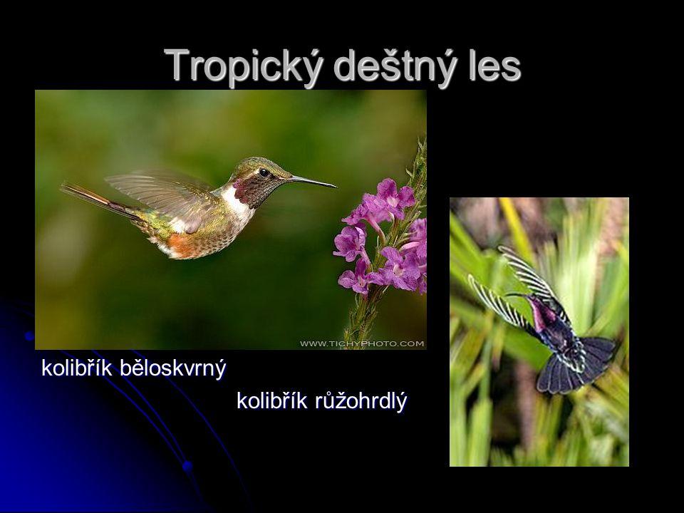 Tropický deštný les kolibřík běloskvrný kolibřík růžohrdlý kolibřík růžohrdlý