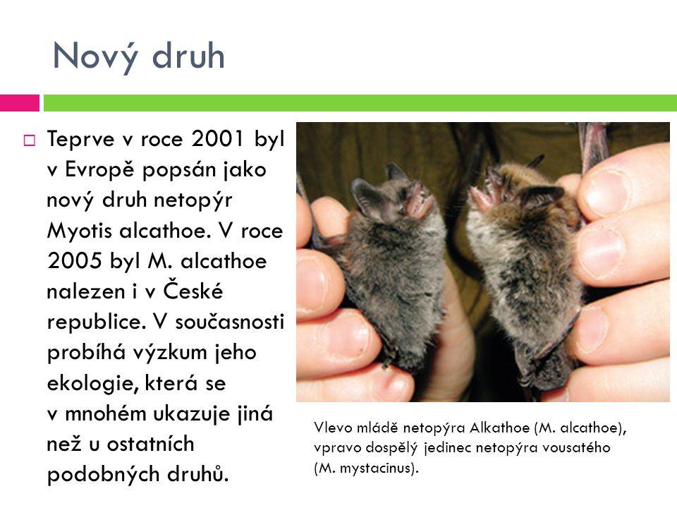 Nový druh  Teprve v roce 2001 byl v Evropě popsán jako nový druh netopýr Myotis alcathoe. V roce 2005 byl M. alcathoe nalezen i v České republice. V