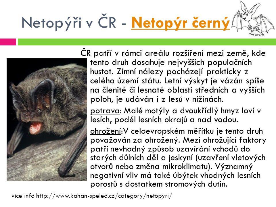 Netopýři v ČR - Netopýr černýNetopýr černý ČR patří v rámci areálu rozšíření mezi země, kde tento druh dosahuje nejvyšších populačních hustot. Zimní n