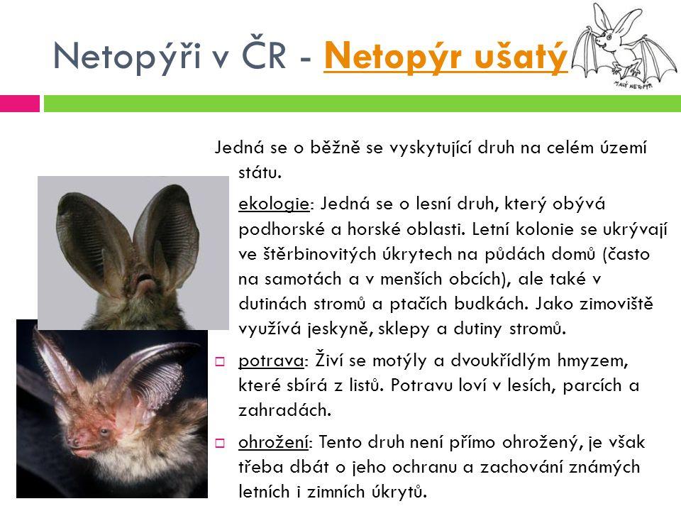 Netopýři v ČR - Netopýr ušatýNetopýr ušatý Jedná se o běžně se vyskytující druh na celém území státu.  ekologie: Jedná se o lesní druh, který obývá p