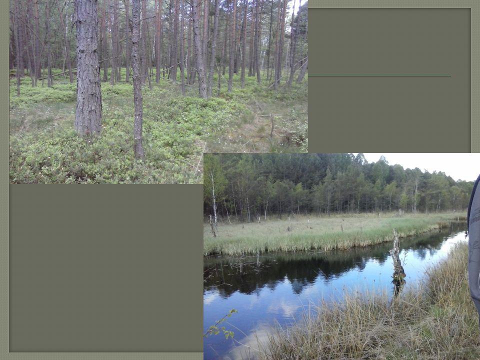  Stromové patro:  Borovice blatka, borovice lesní  B ř íza pý ř itá, b ř íza b ě lokorá