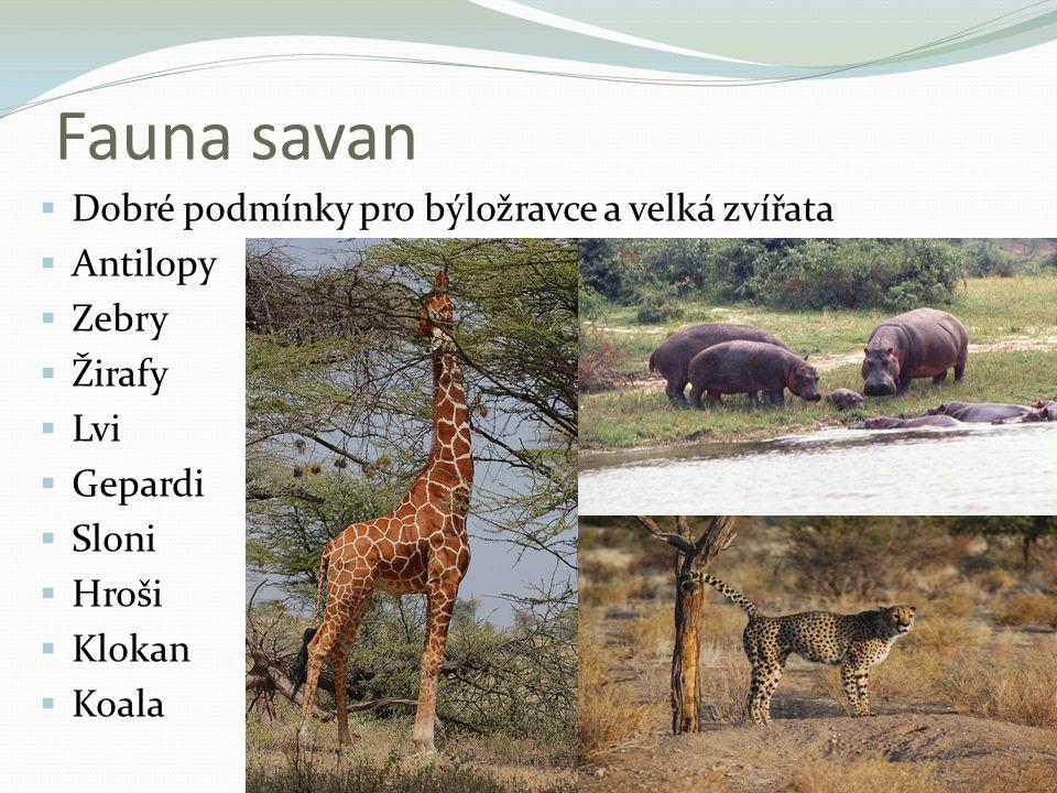 Fauna savan  Dobré podmínky pro býložravce a velká zvířata  Antilopy  Zebry  Žirafy  Lvi  Gepardi  Sloni  Hroši  Klokan  Koala