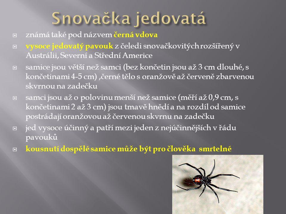  známá také pod názvem černá vdova  vysoce jedovatý pavouk z čeledi snovačkovitých rozšířený v Austrálii, Severní a Střední Americe  samice jsou vě