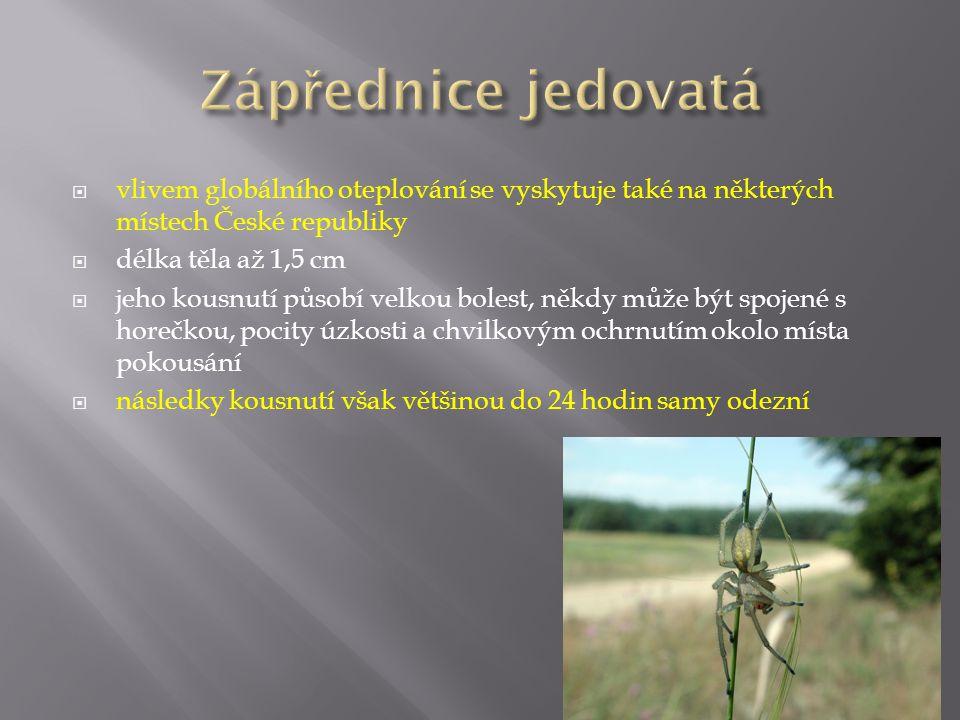  vlivem globálního oteplování se vyskytuje také na některých místech České republiky  délka těla až 1,5 cm  jeho kousnutí působí velkou bolest, něk