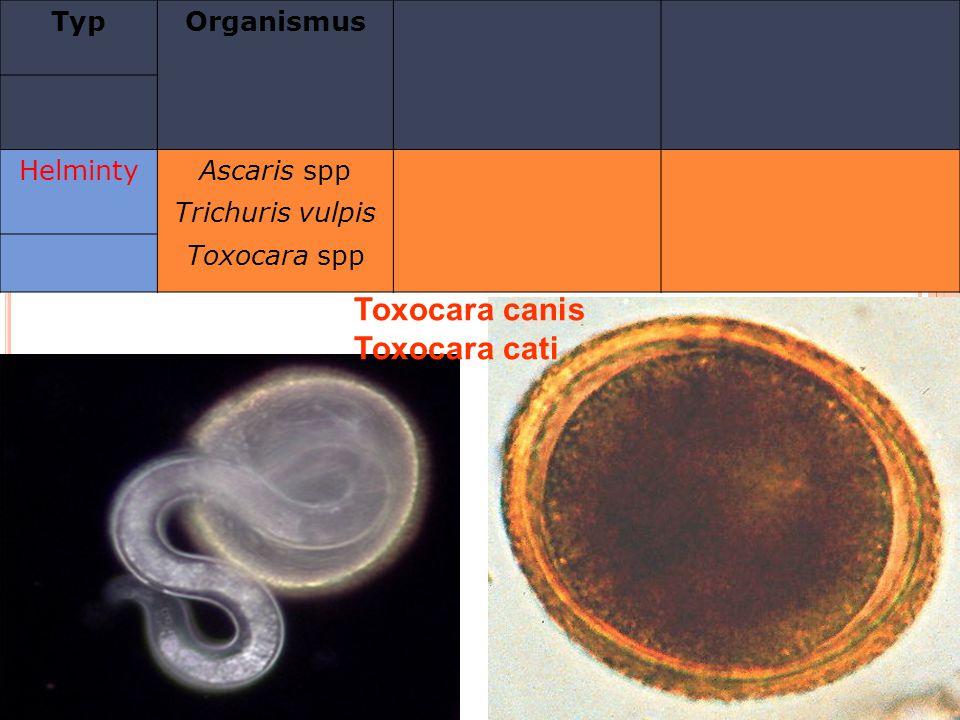 TypOrganismus HelmintyAscaris spp Trichuris vulpis Toxocara spp Toxocara canis Toxocara cati