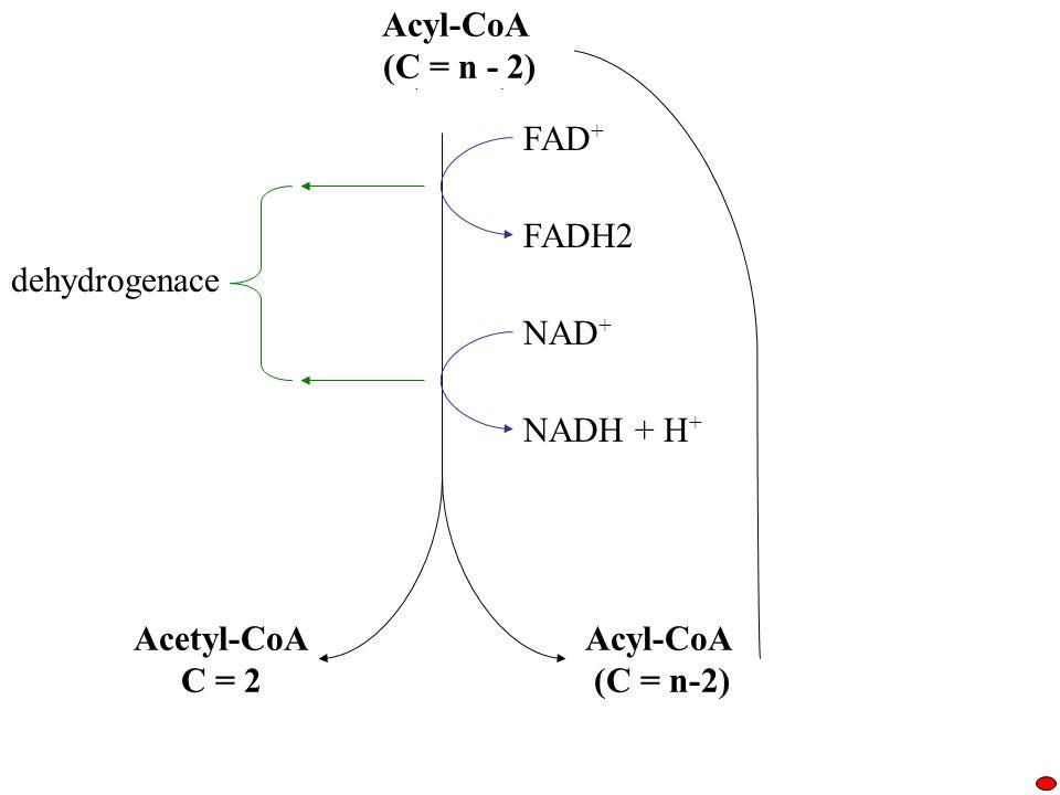 Acyl-CoA (C = n) FAD + FADH2 NAD + NADH + H + Acyl-CoA (C = n-2) Acetyl-CoA C = 2 dehydrogenace Acyl-CoA (C = n - 2)