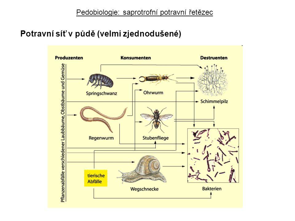 Potravní síť v půdě (velmi zjednodušené) Pedobiologie: saprotrofní potravní řetězec