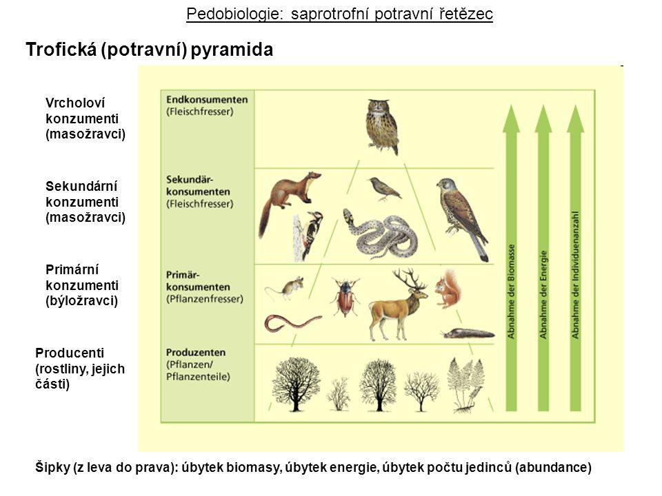 Pedobiologie: saprotrofní potravní řetězec Trofická (potravní) pyramida Vrcholoví konzumenti (masožravci) Sekundární konzumenti (masožravci) Primární konzumenti (býložravci) Producenti (rostliny, jejich části) Šipky (z leva do prava): úbytek biomasy, úbytek energie, úbytek počtu jedinců (abundance)