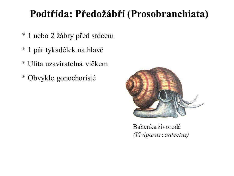 Podtřída: Předožábří (Prosobranchiata) * 1 nebo 2 žábry před srdcem * 1 pár tykadélek na hlavě * Ulita uzavíratelná víčkem * Obvykle gonochoristé Bahenka živorodá (Viviparus contectus)