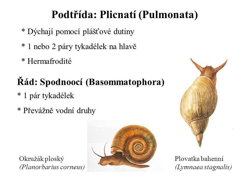Podtřída: Plicnatí (Pulmonata) * Dýchají pomocí plášťové dutiny * 1 nebo 2 páry tykadélek na hlavě * Hermafrodité Plovatka bahenní (Lymnaea stagnalis) Řád: Spodnoocí (Basommatophora) * 1 pár tykadélek * Převážně vodní druhy Okružák ploský (Planorbarius corneus)