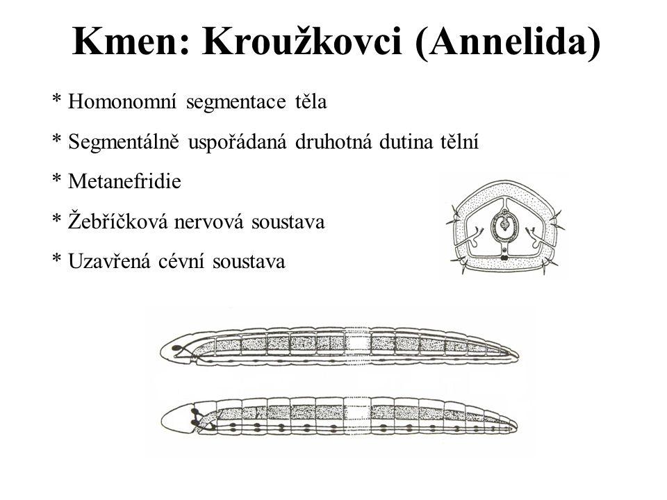 Kmen: Kroužkovci (Annelida) * Homonomní segmentace těla * Segmentálně uspořádaná druhotná dutina tělní * Metanefridie * Žebříčková nervová soustava * Uzavřená cévní soustava