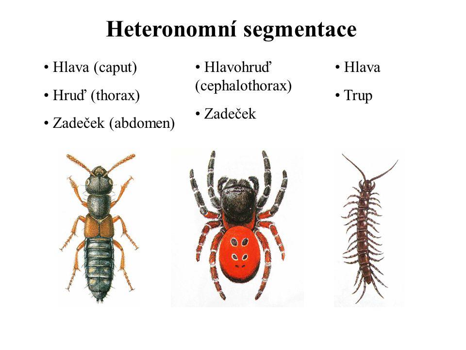 Heteronomní segmentace Hlava (caput) Hruď (thorax) Zadeček (abdomen) Hlavohruď (cephalothorax) Zadeček Hlava Trup