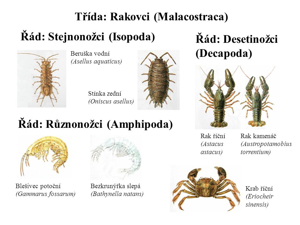 Třída: Rakovci (Malacostraca) Řád: Stejnonožci (Isopoda) Beruška vodní (Asellus aquaticus) Stínka zední (Oniscus asellus) Řád: Různonožci (Amphipoda) Blešivec potoční (Gammarus fossarum) Bezkrunýřka slepá (Bathynella natans) Řád: Desetinožci (Decapoda) Rak říční (Astacus astacus) Krab říční (Eriocheir sinensis) Rak kamenáč (Austropotamobius torrentium)
